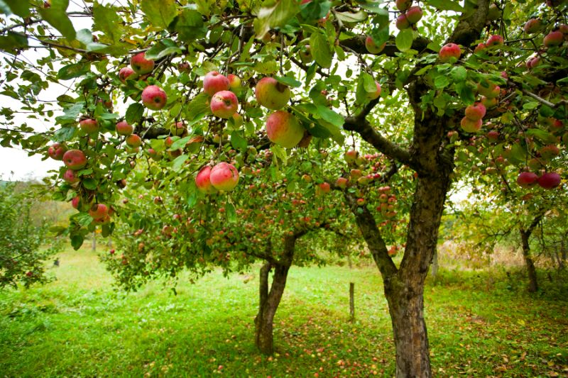 apple picking new jersey
