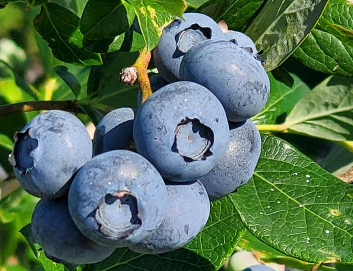 blueberry picking nc