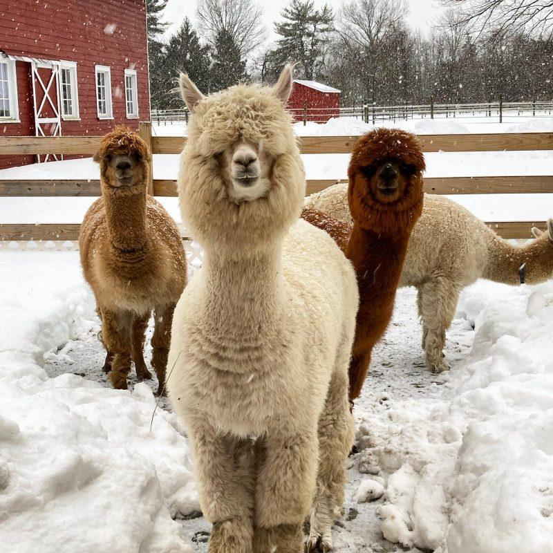 alpaca farms new jersey