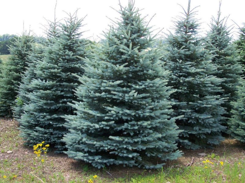cut your own christmas tree nj