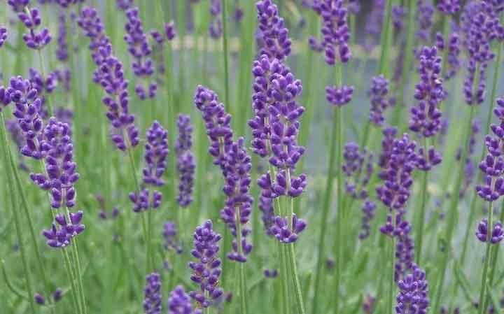 lavender farms nj
