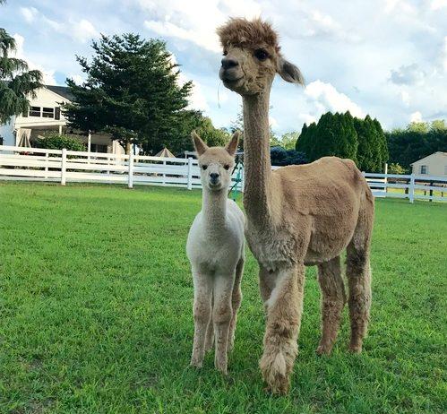 alpaca farms in new jersey
