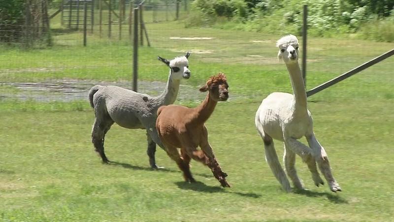 alpaca farm nj