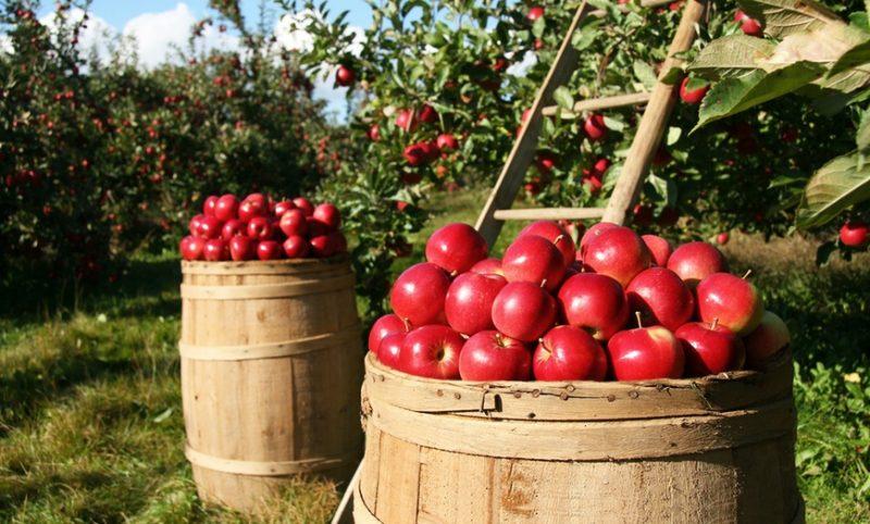 apple picking georgia
