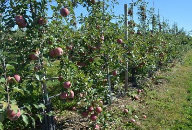 apple picking ny