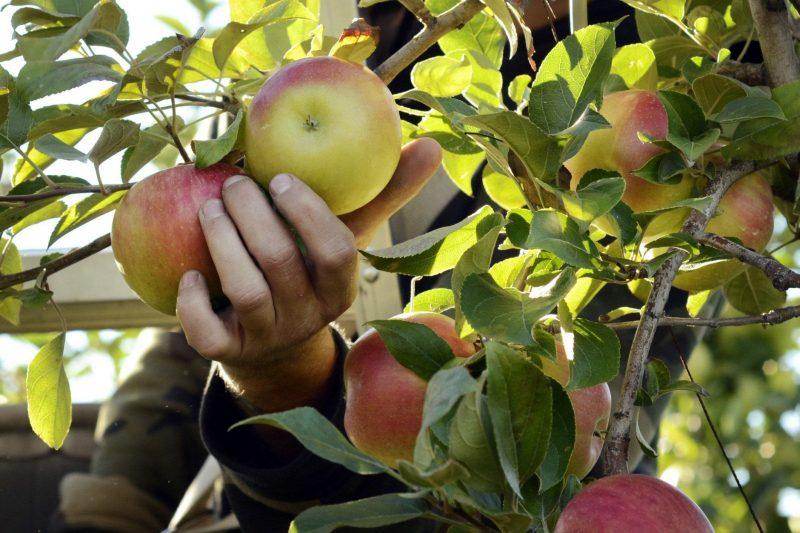 apple picking VA
