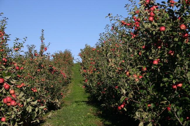 apple picking North carolina