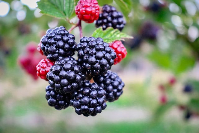 blackberry picking NC
