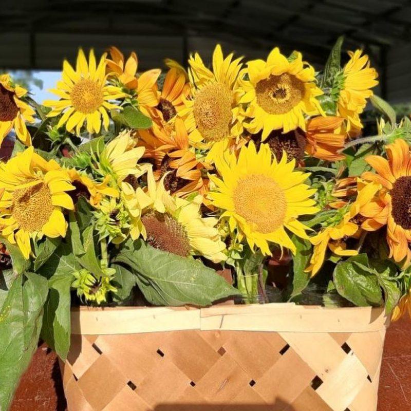 Sunflower Farms NC